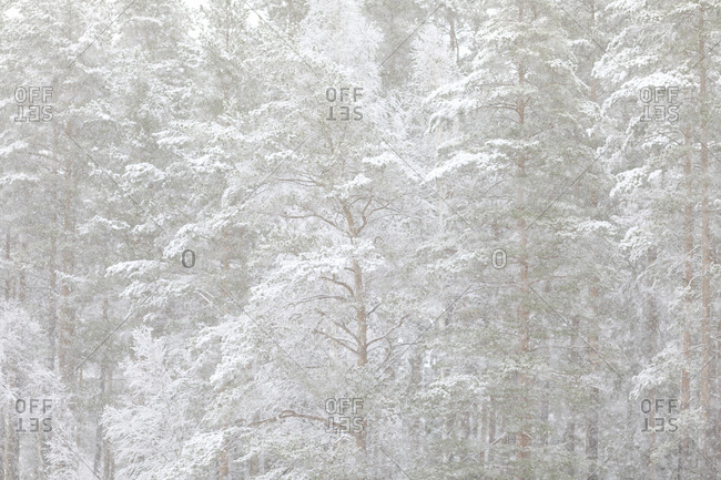 Snow covered trees in Ostergotland, Sweden
