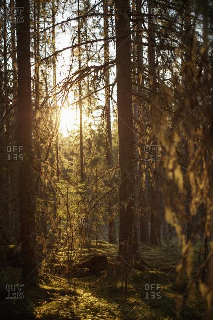 Sun shining through trees in Dalarna, Sweden