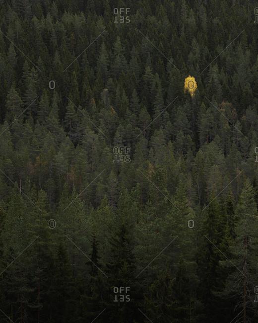 Forest in Dalarna, Sweden - Offset