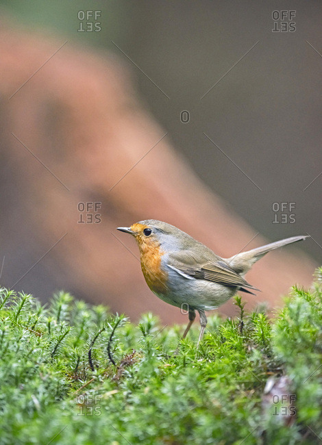 European robin perched on moss in forest