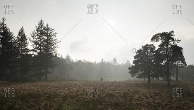 Silhouette of pine trees in misty meadow