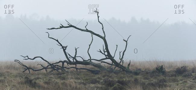 Fallen dead tree in misty landscape with high yellow grass