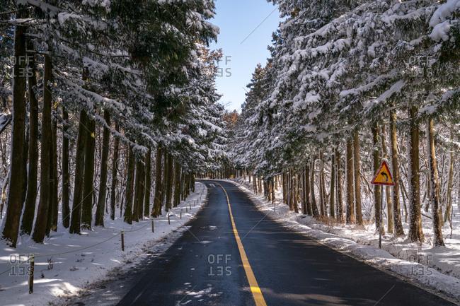 Two-lane road in cedar forest, Jeju Island, South Korea