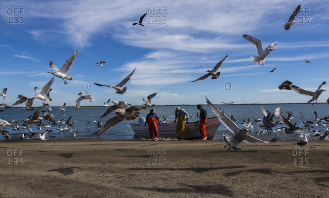 Baja California, Mexico - January 22, 2015: Fisherman on a beach with seagulls flying overhead