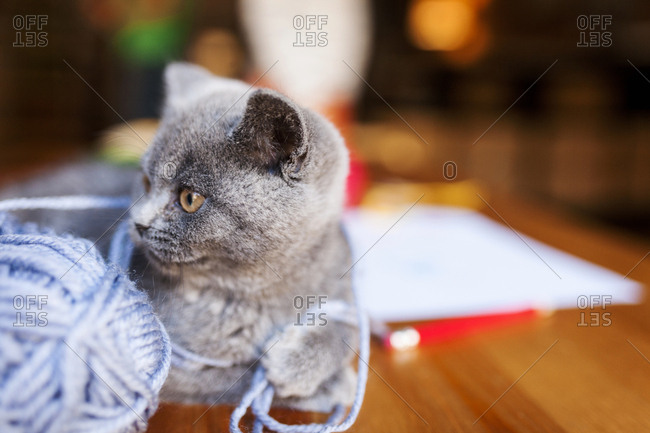 British shorthair cat lying tangled in ball of yarn