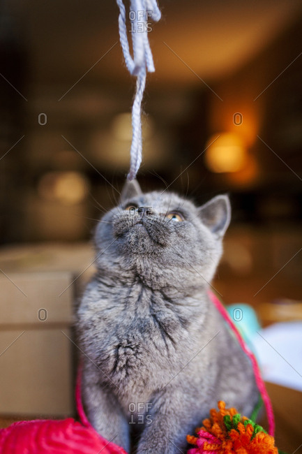British shorthair cat being teased with a piece of yarn