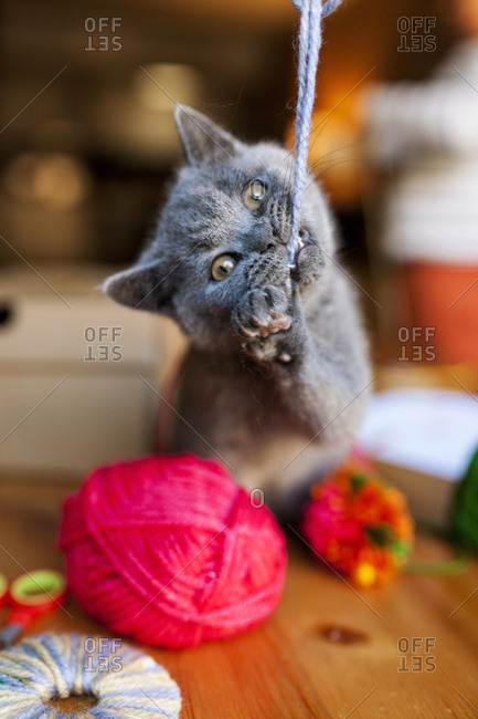 British shorthair cat biting captured piece of yarn
