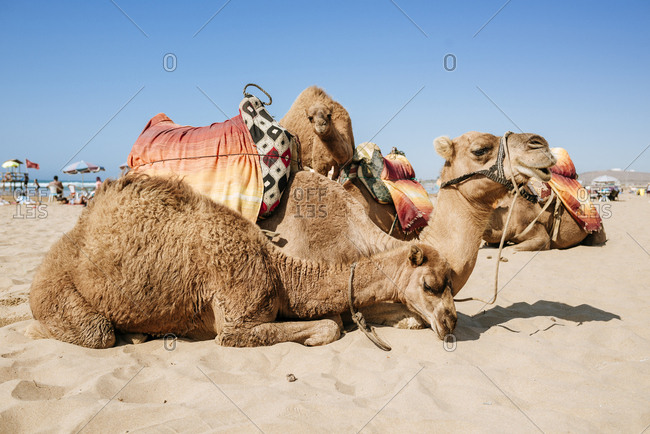Morocco- Tanger- camels lying on beach