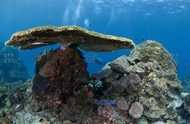 Indonesia- Bali- Nusa Lembonga- Nusa Penida- table coral- Acropora cytherea- and divers