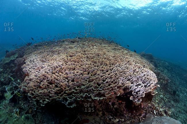 Indonesia- Bali- Nusa Lembonga- Nusa Penida- Cup corals- Turbinaria conspicua