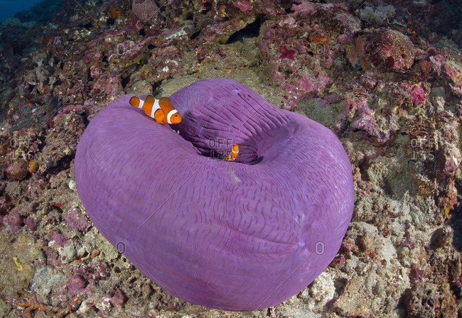 Indonesia- Bali- Nusa Lembonga- Nusa Penida- False percula clownfishes- Amphiprion ocellaris- and magnificent sea anemone-
