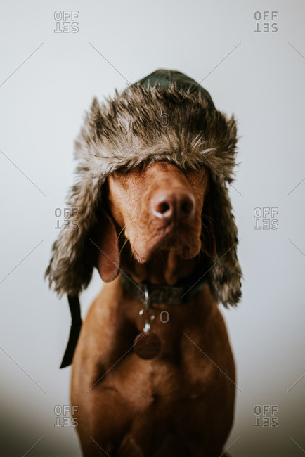 Portrait of a dog wearing a furry hat covering eyes