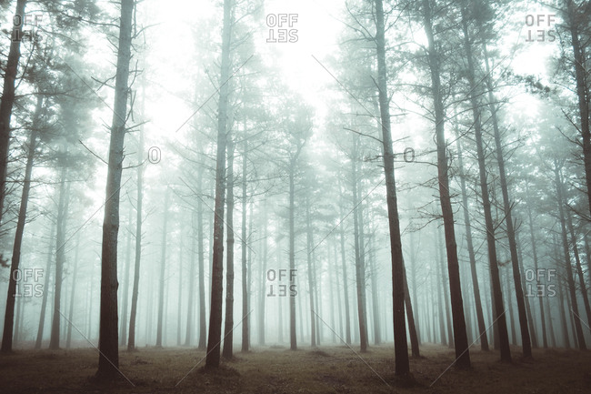Woods in foggy forest