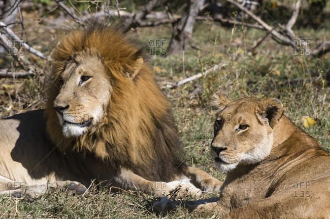 Lion (Panthera leo), Moremi Game Reserve, Okavango Delta, Botswana, Africa