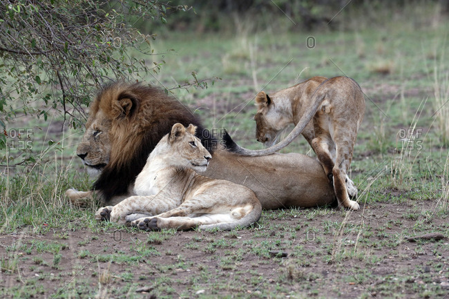 Lion and lioness (Panthera leo) in savanna, Masai Mara Game Reserve, Kenya, East Africa, Africa
