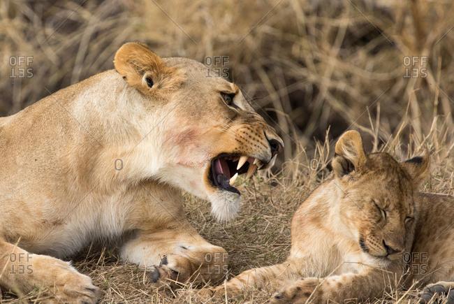 Lioness and cub (Panthera leo), Serengeti National Park, Tanzania, East Africa, Africa