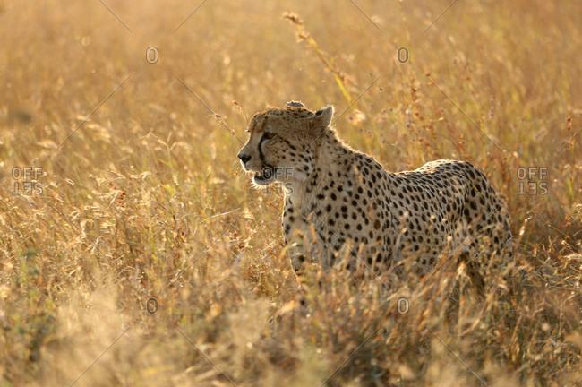 Cheetah ( Acinonyx jubatus ) in savanna, Lower Sabie, Kruger National Park, South Africa, Africa