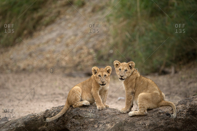 Lion cubs (Panthera leo), Serengeti National Park, Tanzania, East Africa, Africa