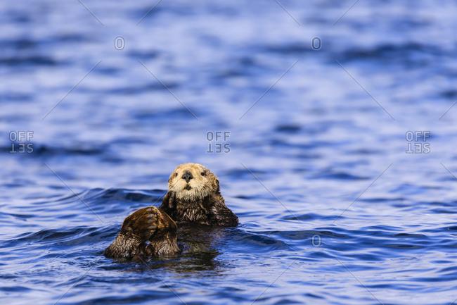 Sea otter (Enhyrda lutris), endangered species, Sitka Sound, Sitka, Baranof Island, Northern Panhandle, Southeast Alaska, United States of America, North America