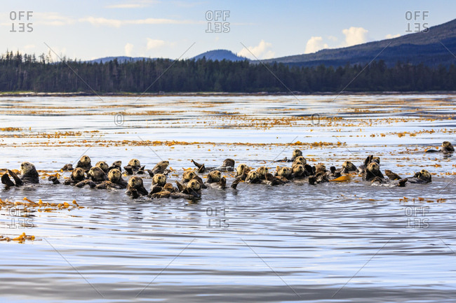 Sea otters (Enhyrda lutris), endangered species, calm waters of Sitka Sound, Sitka, Northern Panhandle, Southeast Alaska, United States of America, North America