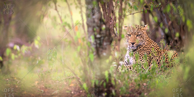 Leopard, Masai Mara, Kenya, East Africa, Africa