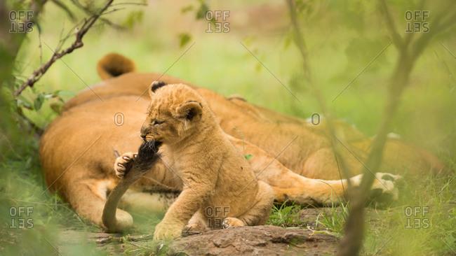 Lion cub biting mother\'s tail, Masai Mara, Kenya, East Africa, Africa