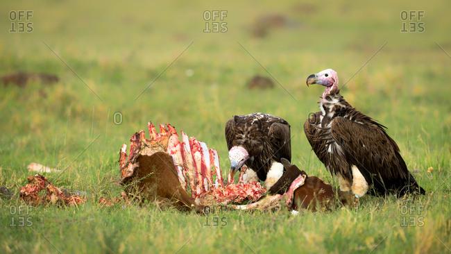 Lappet faced vultures on a kill, Masai Mara, Kenya, East Africa, Africa
