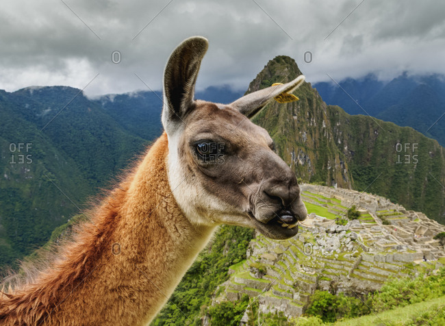 Llama in Machu Picchu, Cusco Region, Peru, South America