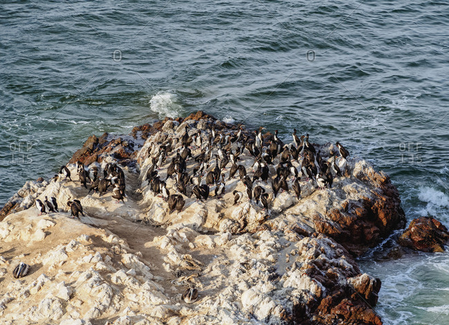 Humboldt penguins (Spheniscus humboldt) on the rock in Lagunillas, Paracas National Reserve, Ica Region, Peru, South America