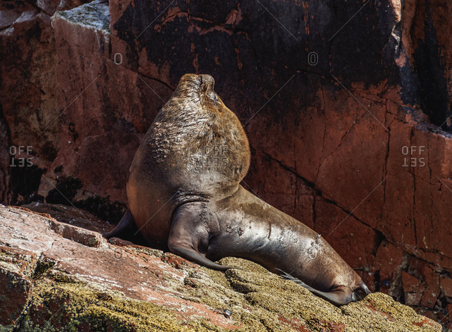 Sea Lion (Otaria flavescens), Ballestas Islands near Paracas, Ica Region, Peru, South America