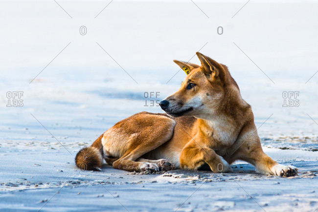 Wild dingo on Seventy Five Mile Beach, Fraser Island, Queensland, Australia, Pacific