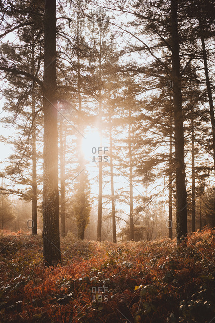 Soft sunlight shining between coniferous trees in tranquil cold forest in autumn