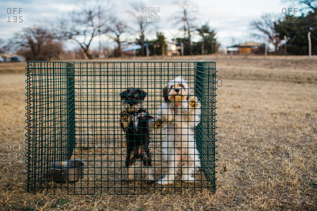 Dogs standing to look through crate together