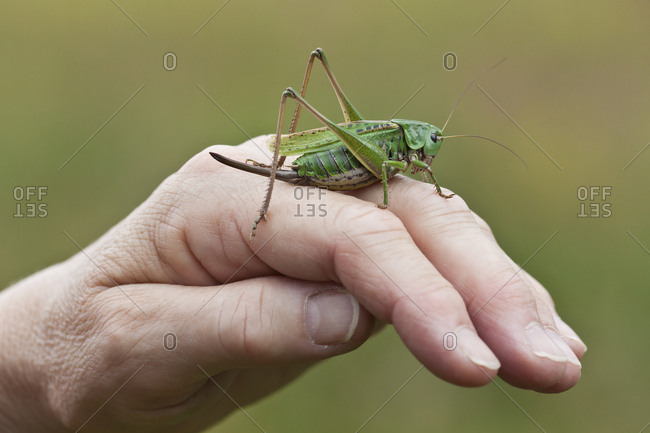 Man holding grasshopper on hand