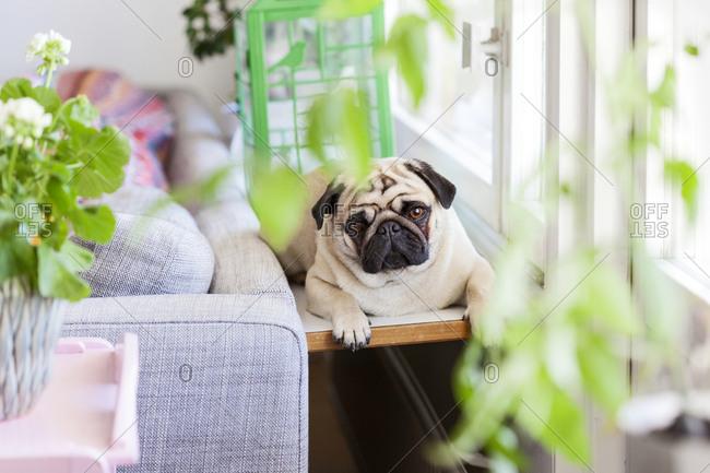 Pug dog lying on chair