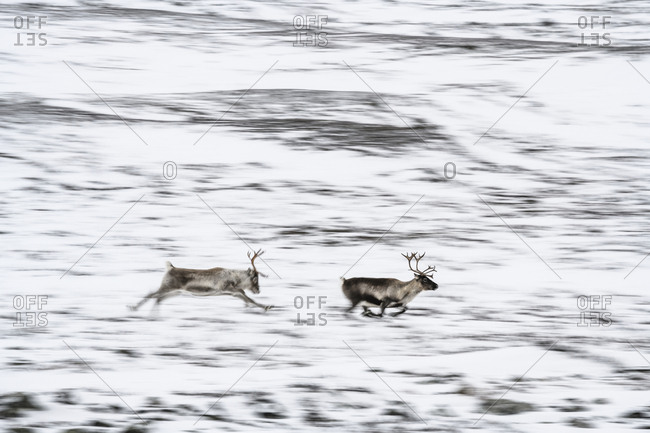 Running reindeer