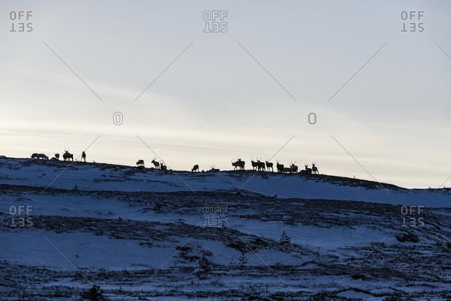 Silhouettes of reindeer