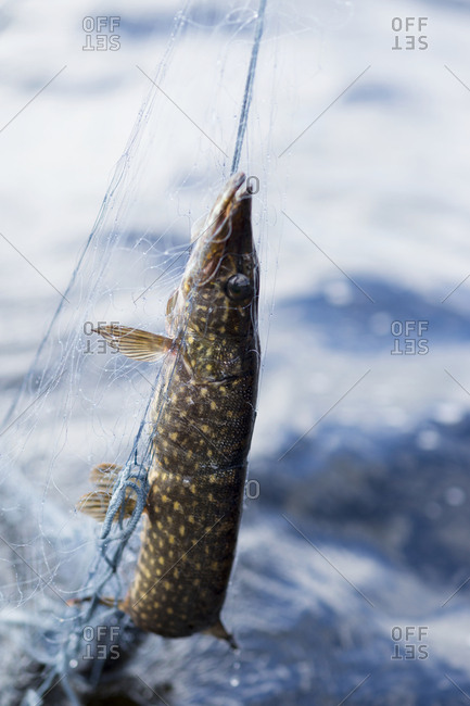 Pike in fishing net