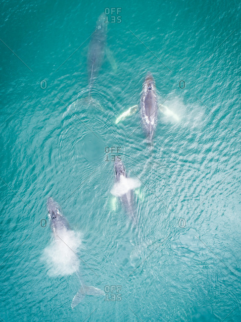 Aerial view of four whales swimming at the surface of Dutch harbor in Alaska.