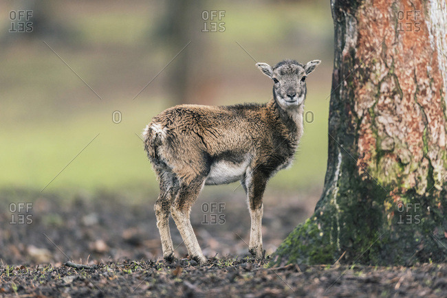 Young mouflon standing next to tree trunk