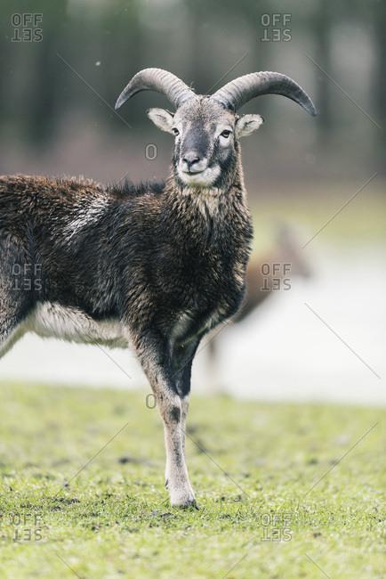 Mouflon buck (Ovis orientalis orientalis) standing in meadow with snow