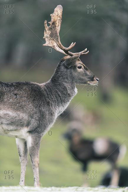 Side view of fallow deer buck (dama dama) in winter