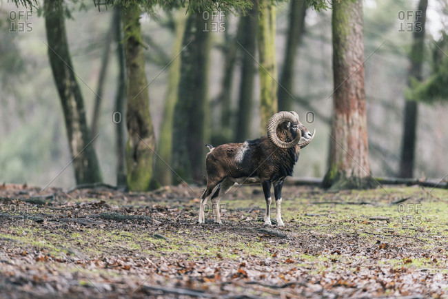 Solitary mouflon buck standing in meadow at edge of forest