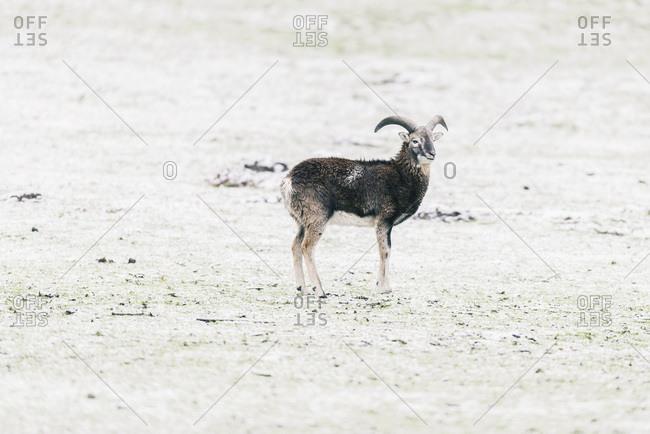 Solitary mouflon ram standing in snowy meadow