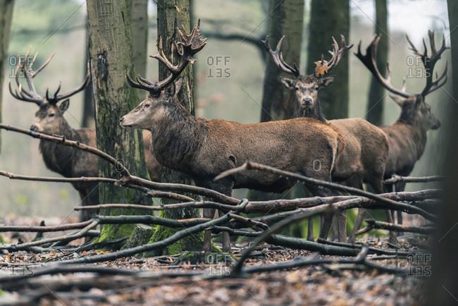Group of red deer stag (cervus elaphus) in winter deciduous forest