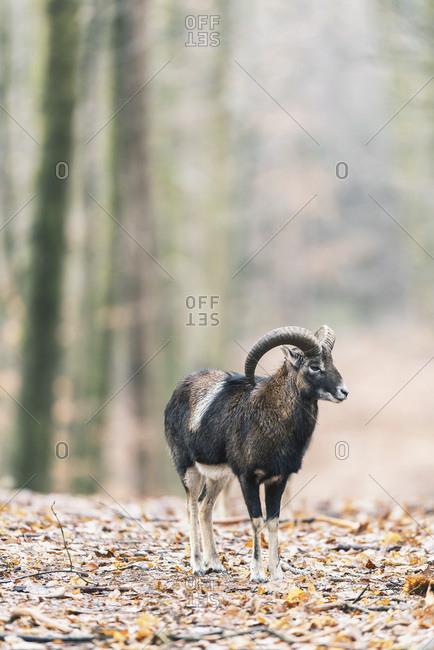 Mouflon ram in autumn forest