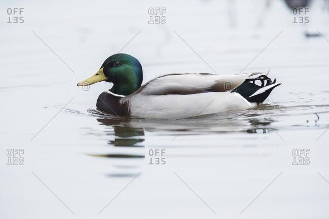 Male mallard (Anas platyrhynchos) floating in water of ditch