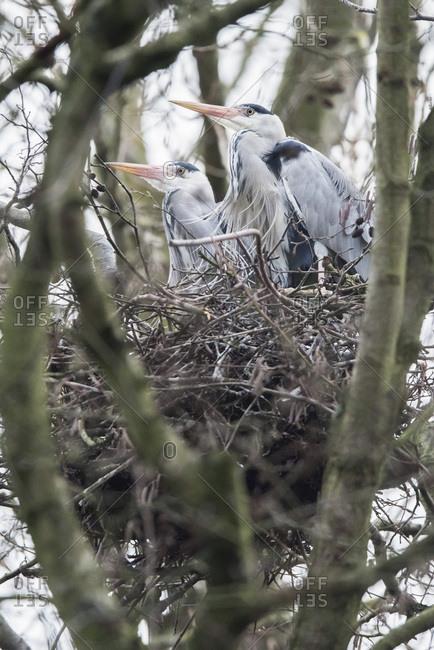 Grey heron (Ardea cinerea) couple sitting on nest in winter tree