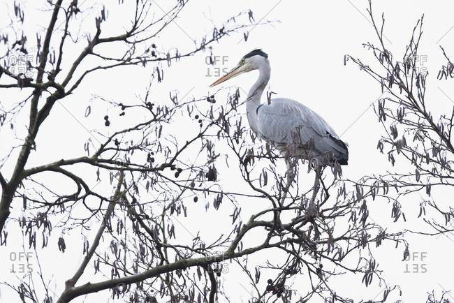 Grey heron (Ardea cinerea) perched on branch high up tree