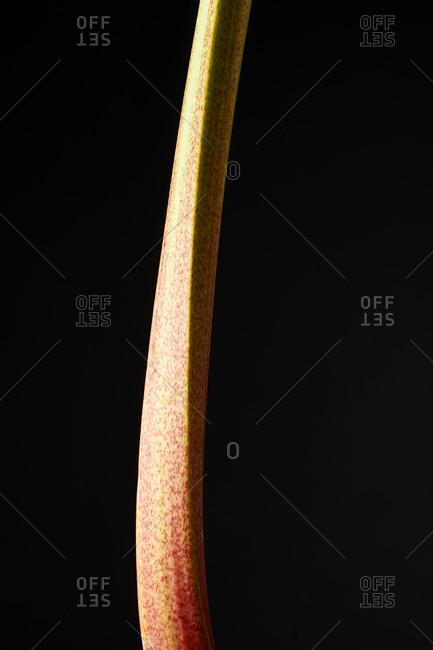 Single rhubarb stalk